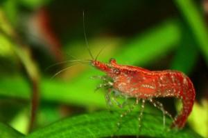 креветки вишни размножение