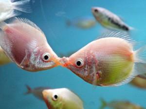 Гурами целующиеся