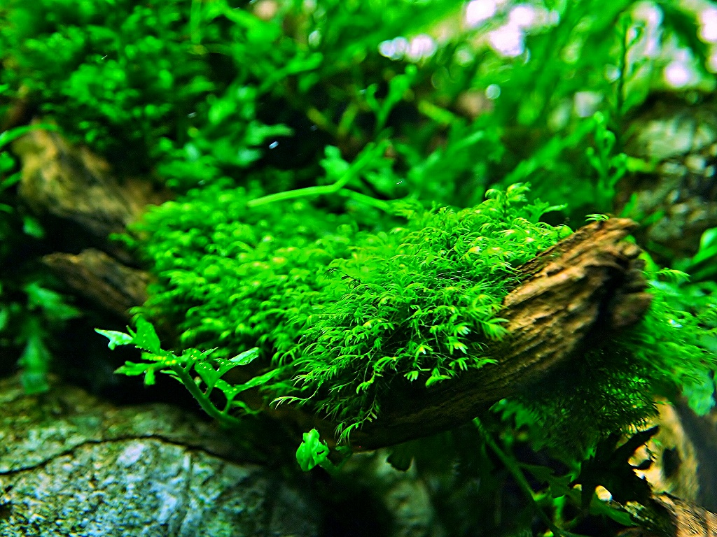 феникс мох для аквариума