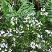 Хоттония или турча болотная