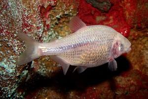 слепая пещерная рыба