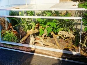 Жемчужная ящерица в домашних условиях