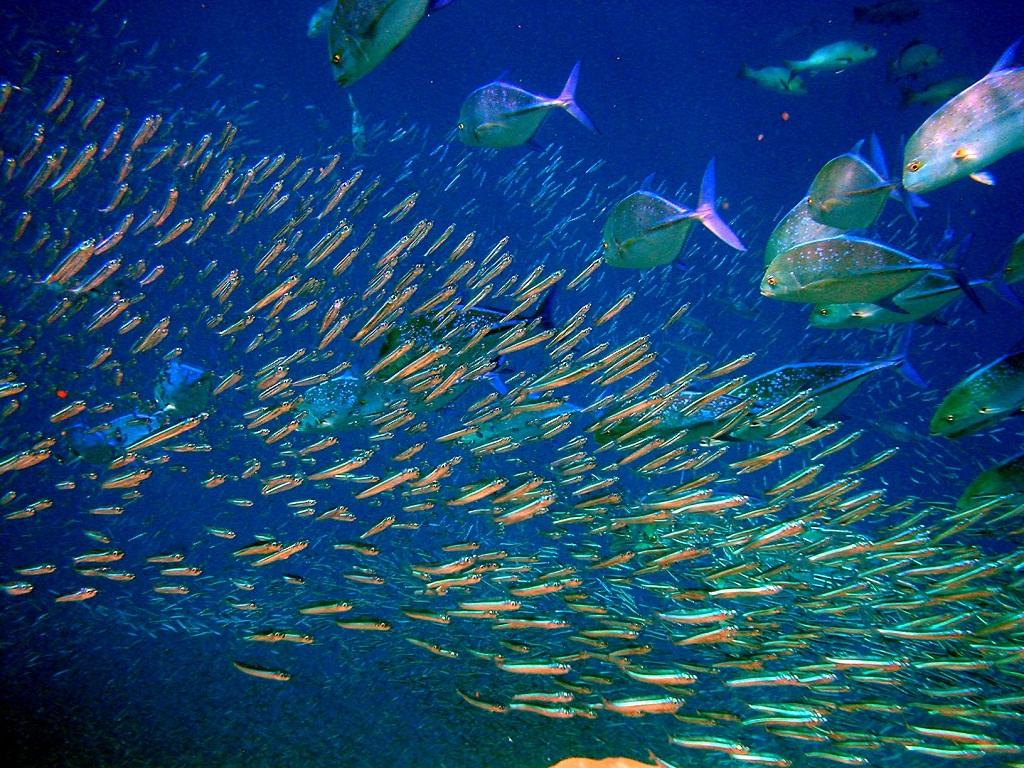 стайные аквариумные рыбки