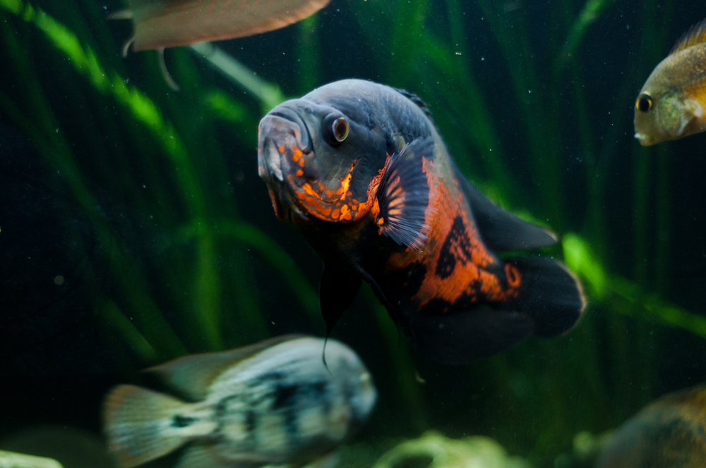 Астронотусы с кем уживаются в аквариуме