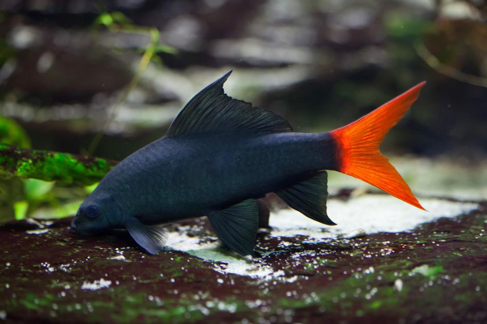 Рыба лобио