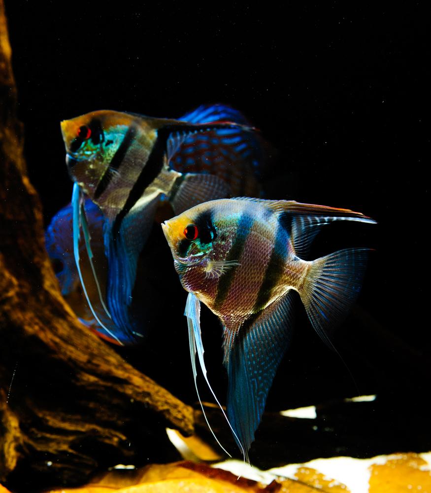 Скалярии содержание с другими рыбами