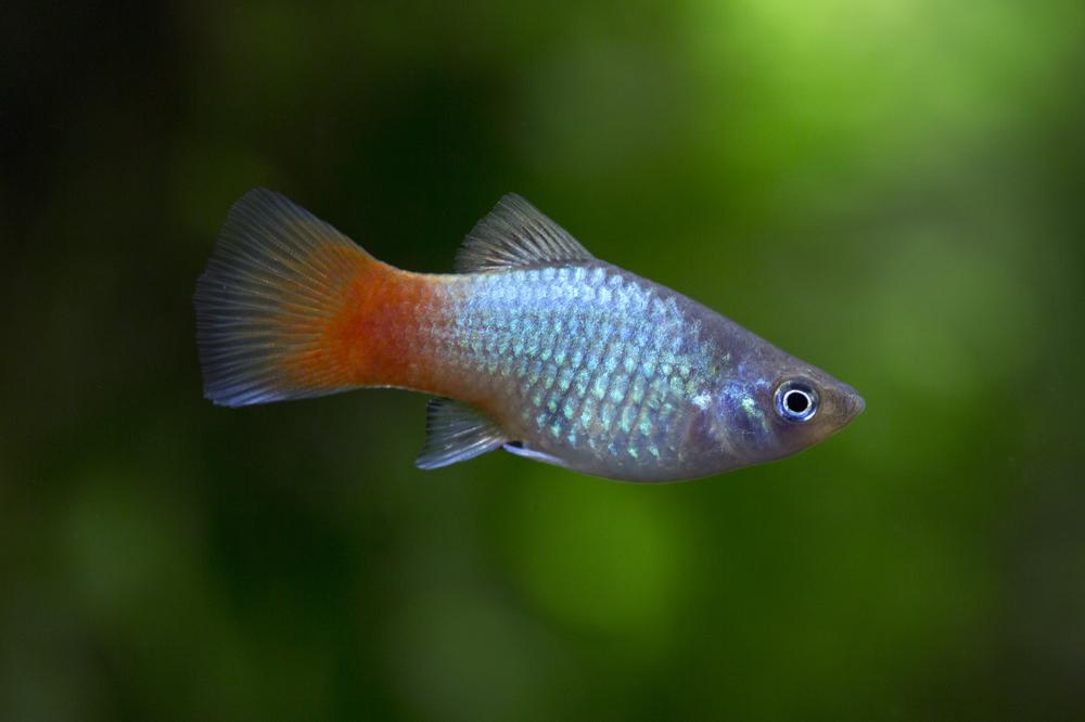Рыбки пецилия: виды, содержание и уход