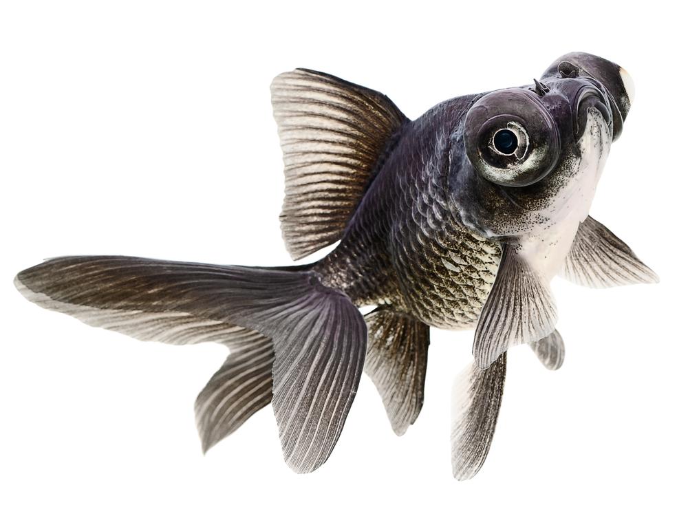 Телескоп: описание, содержание и уход за рыбкой, с кем уживается
