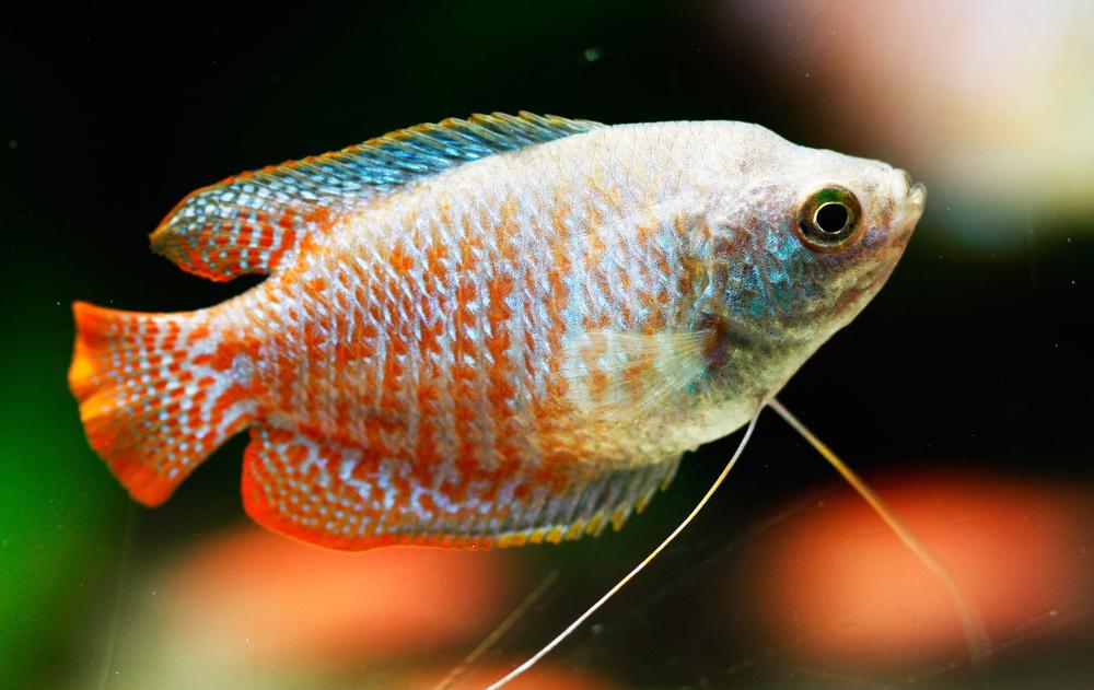 Лабиринтовые аквариумные рыбки перечень