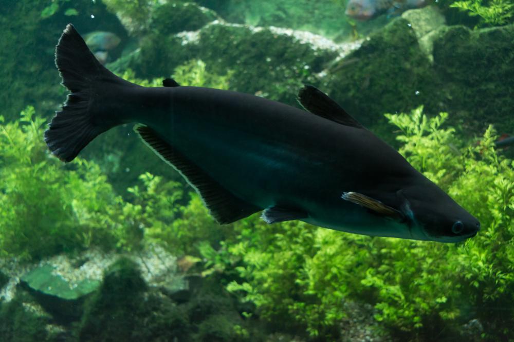 Пангасиус в аквариуме содержание