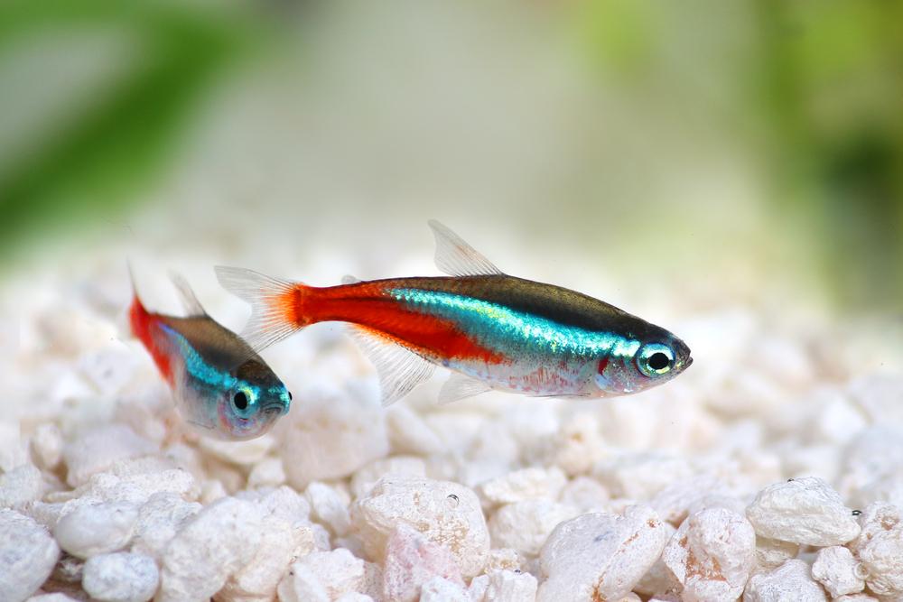 Красный неон особенности размножения и содержания рыбки