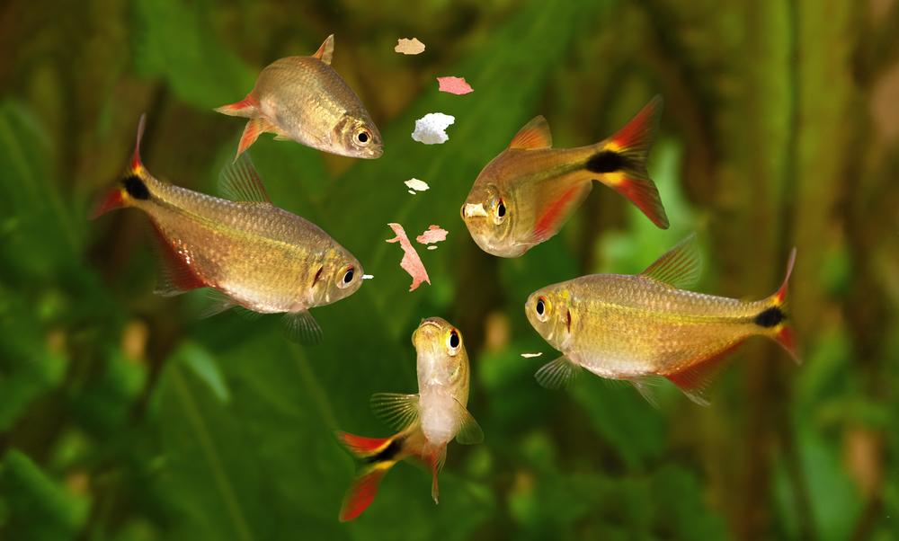 Как часто кормить аквариумных рыбок
