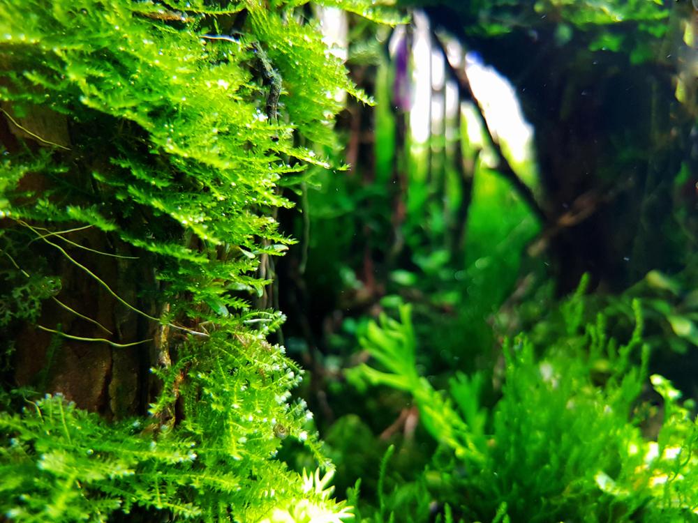 Содержание и размножение яванского мха в аквариуме