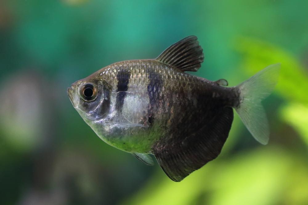 Аквариумная рыбка тернеция - содержание, уход и разведение в домашних условиях, основные виды, совместимость
