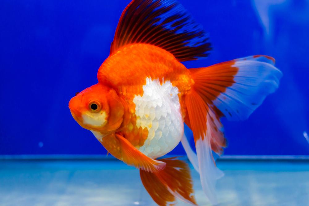 Разновидности золотых аквариумных рыбок
