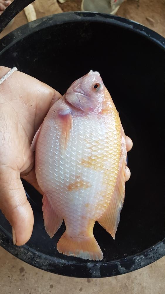 Как вылечить рыбку если она всплывает на поверхность и вздулось брюшко